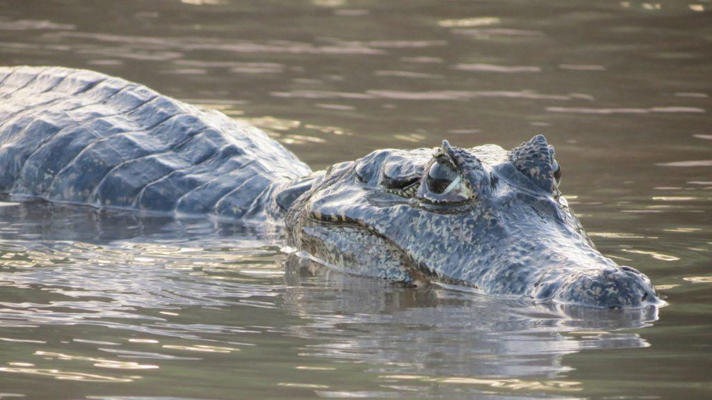 Jacare Pantanal Free Divulgacao